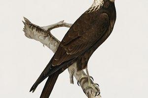 Marsh Harrier illustration(PSD)