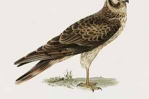 Pallid Harrier female (PSD)