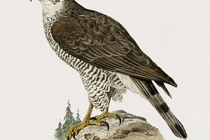 Goshawk female illustration(PSD)