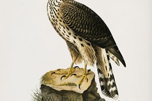 Goshawk illustration (PSD)