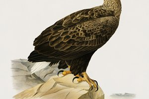 White-tailed eagle (PSD)