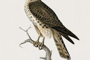 Merlin female illustration (PSD)