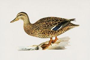 Illustration of duck (PSD)