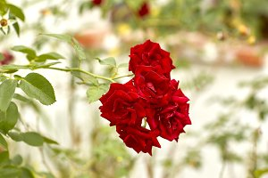beautiful red rose bush
