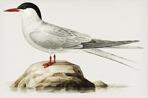 Arctic tern illustration (PSD)