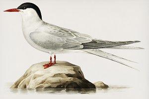 Arctic tern illustration (PSD)