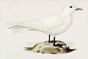Ivory gull illustration (PSD)