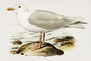 Glaucous gull illustration (PSD)