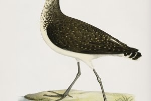 Green Sandpiper illustration (PSD)