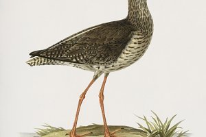 Common redshank illustration (PSD)