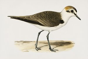 Kentish Plover illustration (PSD)
