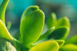 Succulent plant leaves macro shot