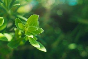 Marjoram herb plant macro shot on sunny day