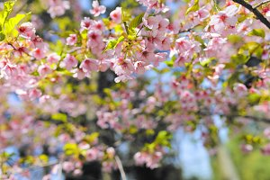 Sakura on a sunny day
