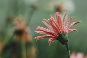 Pink Daisy Portrait in the Rain