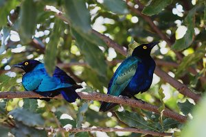 Blue Starling Pair in a Tree
