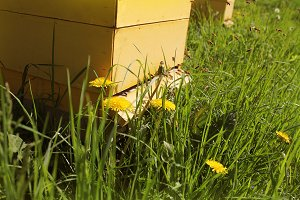 Bees return to the beehives during the harvest. Lot of bees fly near of beehives