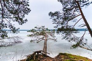 Large pine falls to frozen lake