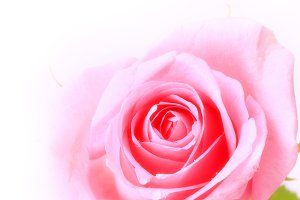 rose gentle pink  isolated on white background soft selective focus romantic tenderness