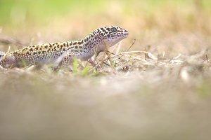 geco, reptile, animal,