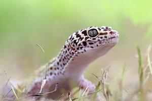 geco, reptile, mammals,