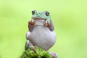 tree frog, funny, animal,