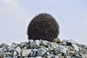 Hedgehog on a pile of rubble. Hedgeh