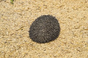 Hedgehog on rice husk. Hedgehog curl