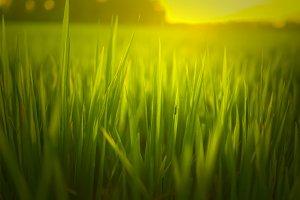 Grass Sunrise Beam