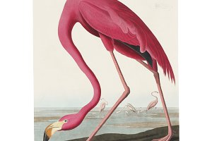 Illustration of Pink Flamingo