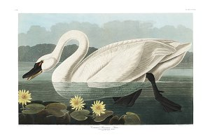 Illustration of Swan