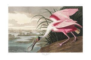 Illustration of Roseate Spoonbill
