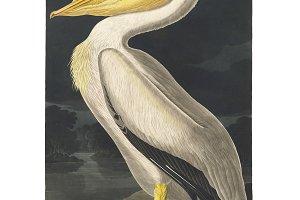 Illustration of White Pelican