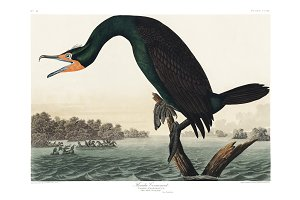 Illustration of Florida Cormorant