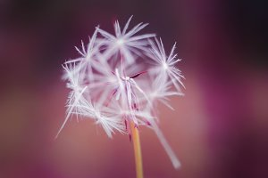 White closeup dandelion on red bokeh