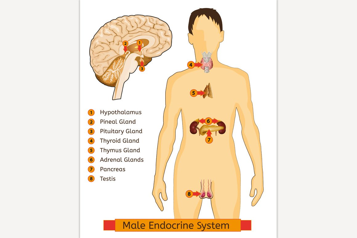 Endocrine System Image Illustrations Creative Market