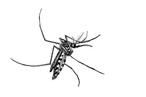Sketch of mosquito on white