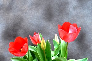 Red tulips and gray background