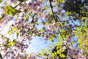 Sakura against blue sky