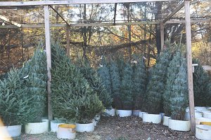 Christmas Tree Farm 2