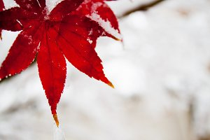 Japanese maple leaf in snow