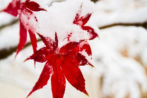 Japanese maple leaves in the snow