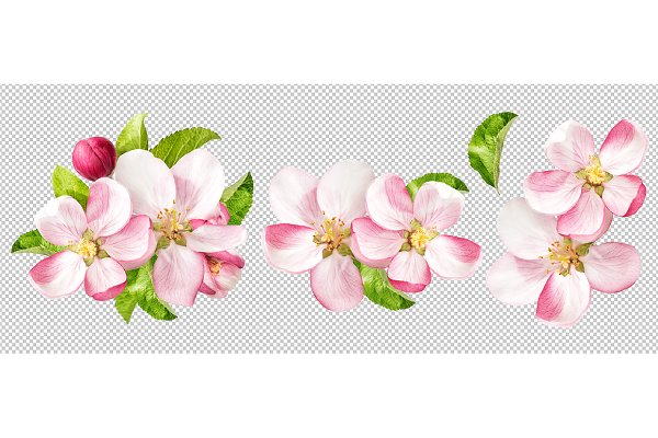 Apple tree blossoms PNG