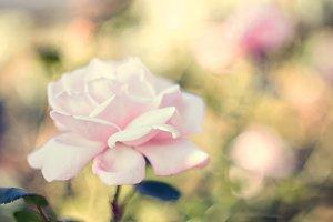 Delicate rose.