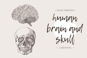 Human brain and skull