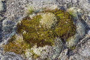 Moss and lichen on a granite rock