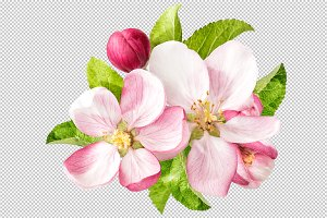 Apple tree blossom PNG
