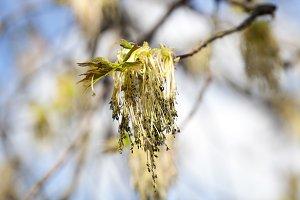 flowering maple tree