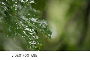 Maple leaves. Rain. Clip 1.