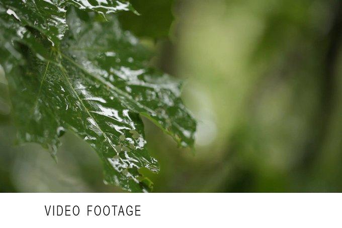 Maple leaves. Rain. Clip 1. - Nature